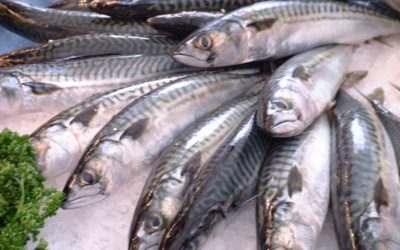 What Is Mackerel Fish